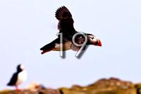 bokeh photographic (Alistair Grant) - Freelance Photographer Cambridge Blog 19 - The Sea Parrot