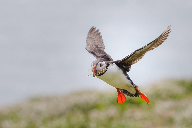 Freelance Photographer Cambridge Blog Image | Blog 60 | Rewilding (A puffin flying in with nesting material photographed on Skomer Island during the Wildlife Trusts 30 Days Wild). © bokeh photographic (Alistair Grant): Freelance Photographer; Food & Drink Photographer; Commercial Photographer, Product Photographer & Packshot Photographer; Event Photographer; Portrait Photographer; Corporate Photographer & PR Photographer; Engagement Photographer & Wedding Photographer and Photography Training Courses, St Ives, Cambridge.