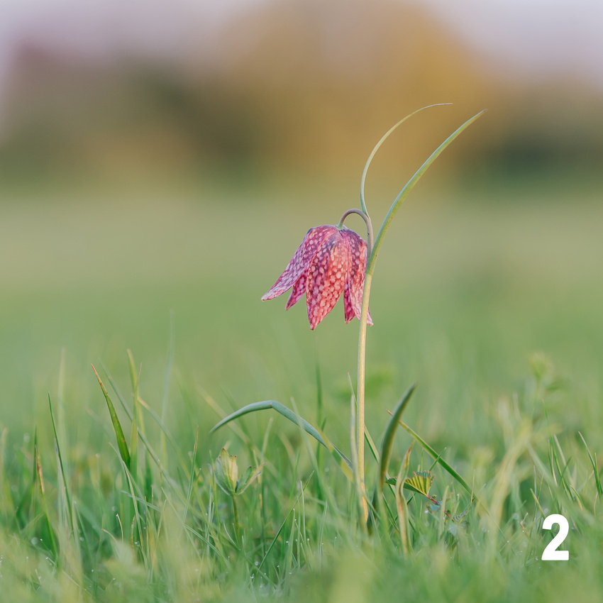 Christmas 2018 Wildlife Quiz Contact Sheet. Image #2 - Snake's Head Fritillary. © bokeh photographic (Alistair Grant): Freelance Photographer, St Ives, Cambridge and across the UK.