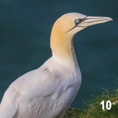 Christmas 2018 Wildlife Quiz Image #10 – Northern Gannet.  Wildlife Photographer & Wildlife Photography. © bokeh photographic (Alistair Grant): Freelance Photographer, St Ives, Cambridge and across the UK.
