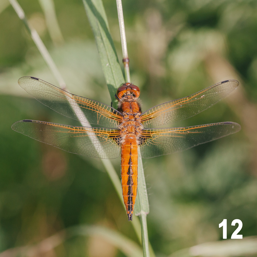 Christmas 2018 Wildlife Quiz Contact Sheet. Image #12 - Scarce Chaser Dragonfly. © bokeh photographic (Alistair Grant): Freelance Photographer, St Ives, Cambridge and across the UK.