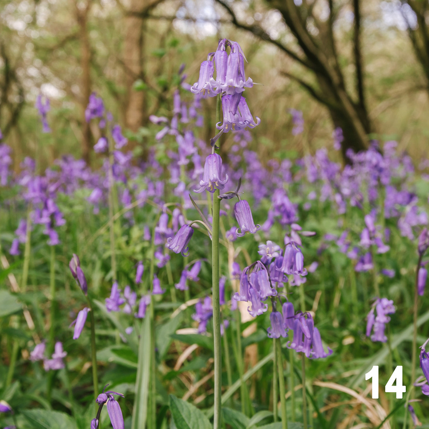 Christmas 2018 Wildlife Quiz Contact Sheet. Image #14 - English Bluebell. © bokeh photographic (Alistair Grant): Freelance Photographer, St Ives, Cambridge and across the UK.