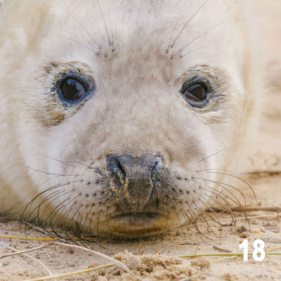 Christmas 2018 Wildlife Quiz Image #18 – Grey Seal Pup.  Wildlife Photographer & Wildlife Photography. © bokeh photographic (Alistair Grant): Freelance Photographer, St Ives, Cambridge and across the UK.