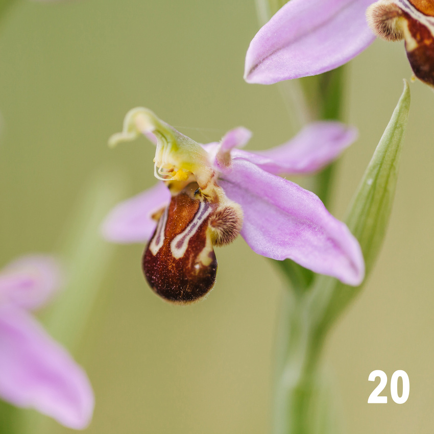 Christmas 2018 Wildlife Quiz Contact Sheet. Image #20 - Bee Orchid. © bokeh photographic (Alistair Grant): Freelance Photographer, St Ives, Cambridge and across the UK.
