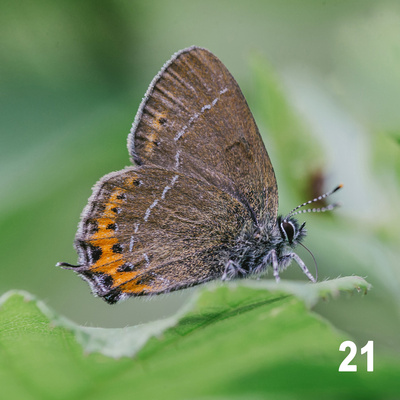 Christmas 2018 Wildlife Quiz Image #21 – Black Hairstreak Butterfly.  Wildlife Photographer & Wildlife Photography. © bokeh photographic (Alistair Grant): Freelance Photographer, St Ives, Cambridge and across the UK.