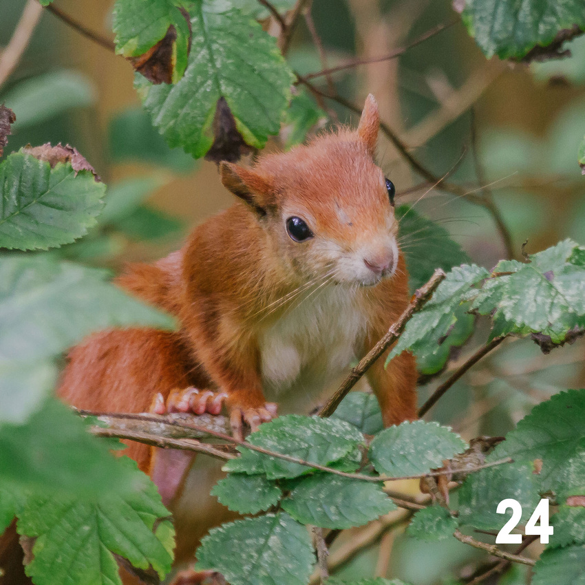 Christmas 2018 Wildlife Quiz Contact Sheet. Image #24 - Red Squirrel. © bokeh photographic (Alistair Grant): Freelance Photographer, St Ives, Cambridge and across the UK.