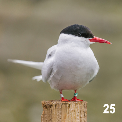 Christmas 2018 Wildlife Quiz Image # - Arctic Tern. © bokeh photographic (Alistair Grant): Freelance Photographer, St Ives, Cambridge and across the UK.