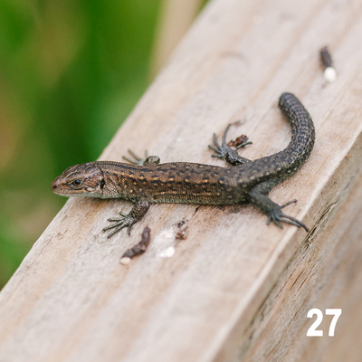 Christmas 2018 Wildlife Quiz Image #27 – Common Lizard. © bokeh photographic (Alistair Grant): Freelance Photographer, St Ives, Cambridge and across the UK.