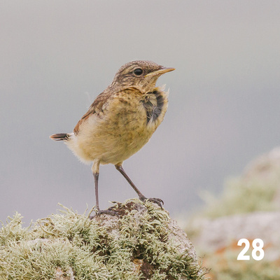 Christmas 2018 Wildlife Quiz Image #28 – Fledgling Northern Wheatear. © bokeh photographic (Alistair Grant): Freelance Photographer, St Ives, Cambridge and across the UK.