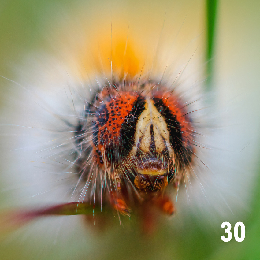Christmas 2018 Wildlife Quiz Contact Sheet. Image #30 - Oak Eggar Moth Caterpillar. © bokeh photographic (Alistair Grant): Freelance Photographer, St Ives, Cambridge and across the UK.
