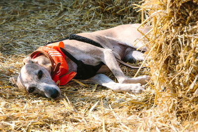 2017 Aldeburgh Food & Drink Festival: Dog napping by the Tiptree Stage. © bokeh photographic (Alistair Grant): Freelance Photographer Cambridge.