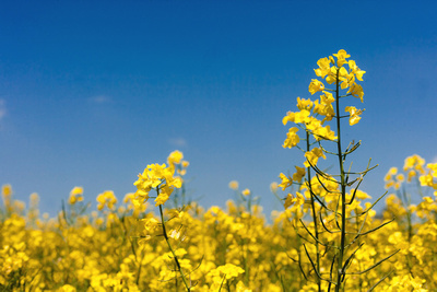 Field of bright yellow Canola cultivar of oilseed rape agricultural crop against brilliant blue sky. © bokeh photographic (Alistair Grant): Food & Drink Photographer, St Ives, Cambridge.