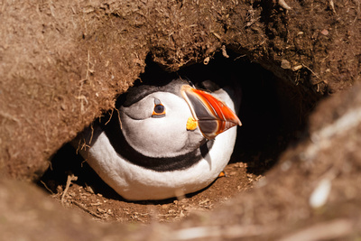 Puffin in Burrow. © bokeh photographic (Alistair Grant): Professional Photographer: Cambridgeshire, Bedfordshire, Northamptonshire, Norfolk, Suffolk, Essex & Hertfordshire.